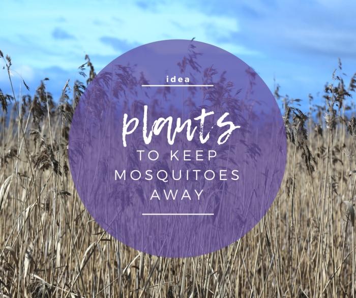 IDEA: Plants to Keep MosquitoesAway